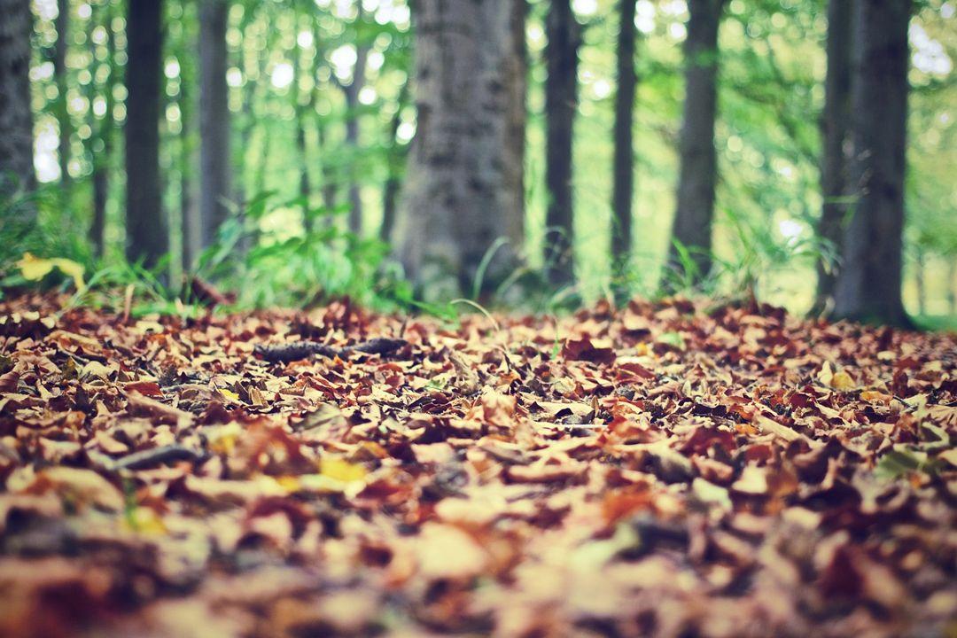 daun pohon hutan musim berguguran ketika musim kemarau