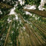 Pohon Ramin - Ciri, Penyebaran, Manfaat dan Budidaya