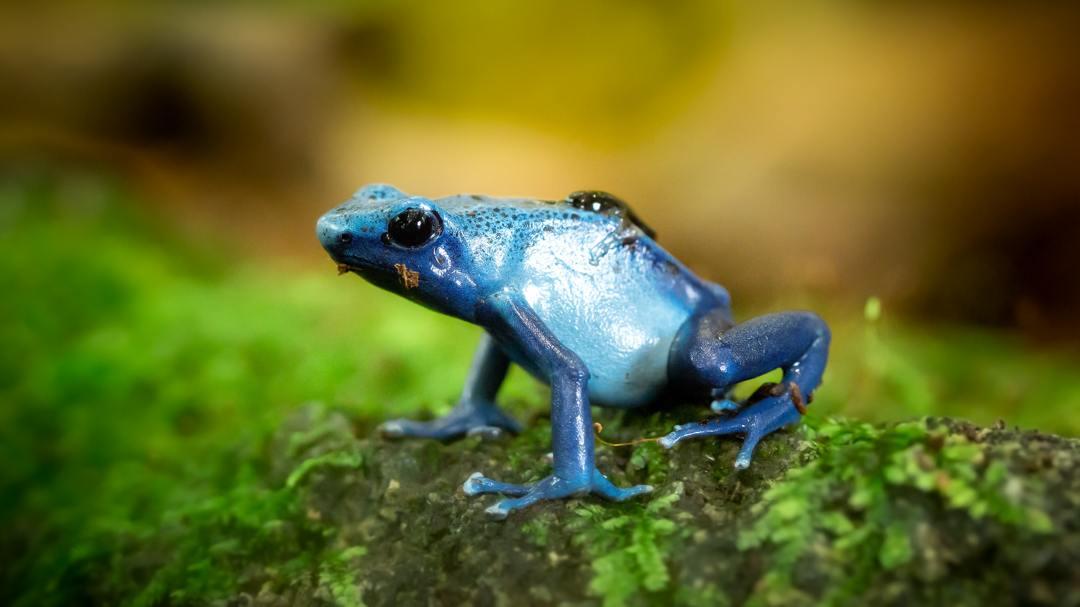 hutan hujan memiliki banyak spesies katak eksotis