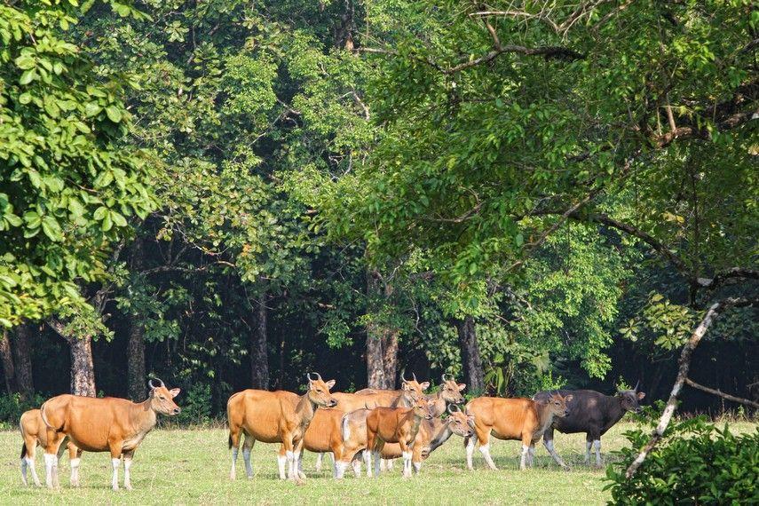 banteng liar banyak ditemui di sabana cidaon