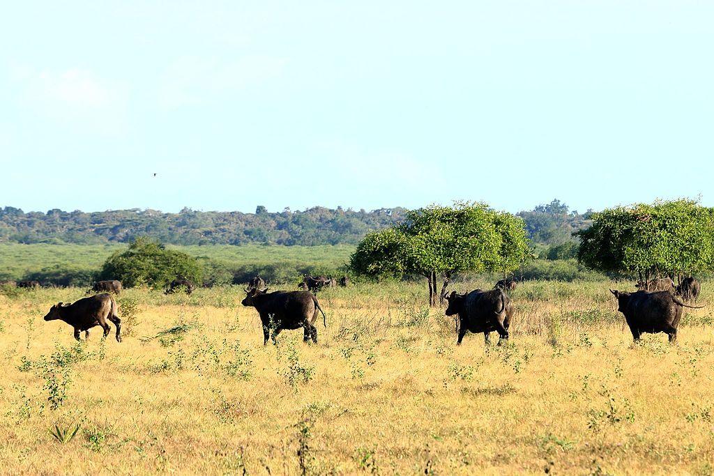 hewan liar seperti banteng terdapat di sabana baluran