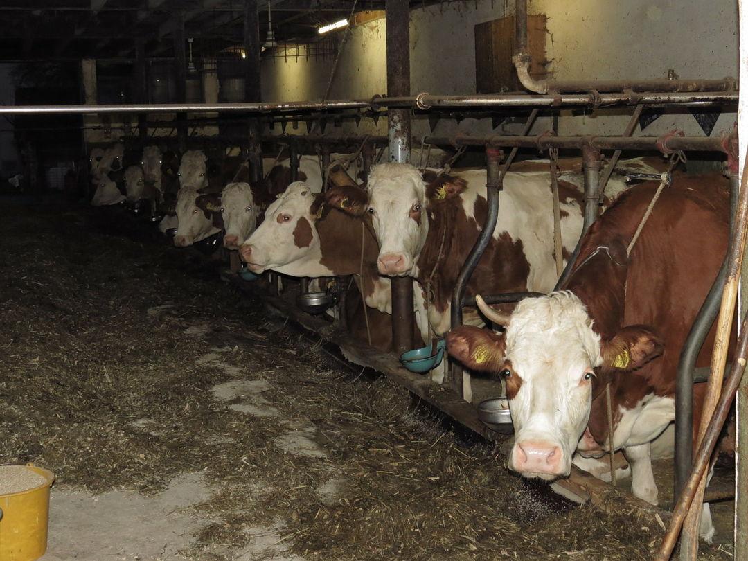 sampah organik untuk pakan ternak