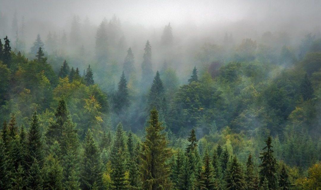 Pohon Pinus – Persebaran, Manfaat dan Budidaya