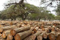 kayu perhutani