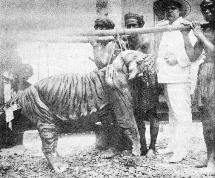 harimau bali