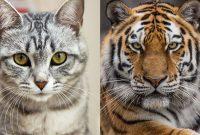 macan dan kucing