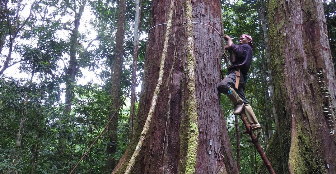 mengukur pohon