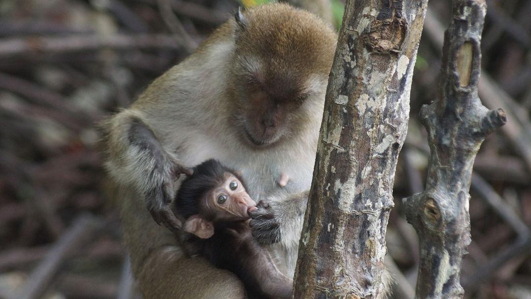 monyet di hutan bakau