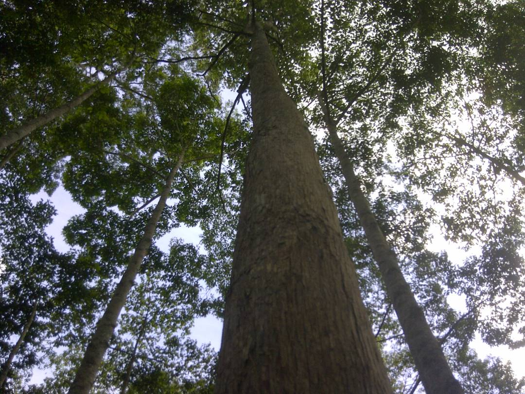 pohon kayu besi