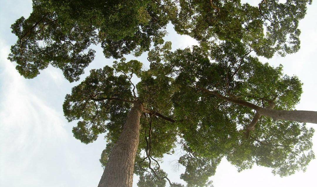Pohon Ulin – Karakter, Manfaat dan Cara Budidaya