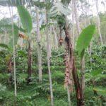 Agroforestri - Pengertian, Manfaat Serta Tujuan