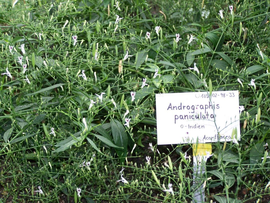 andrographis paniculata nees