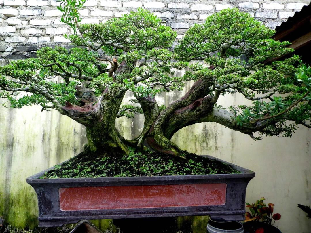 bonsai stigi