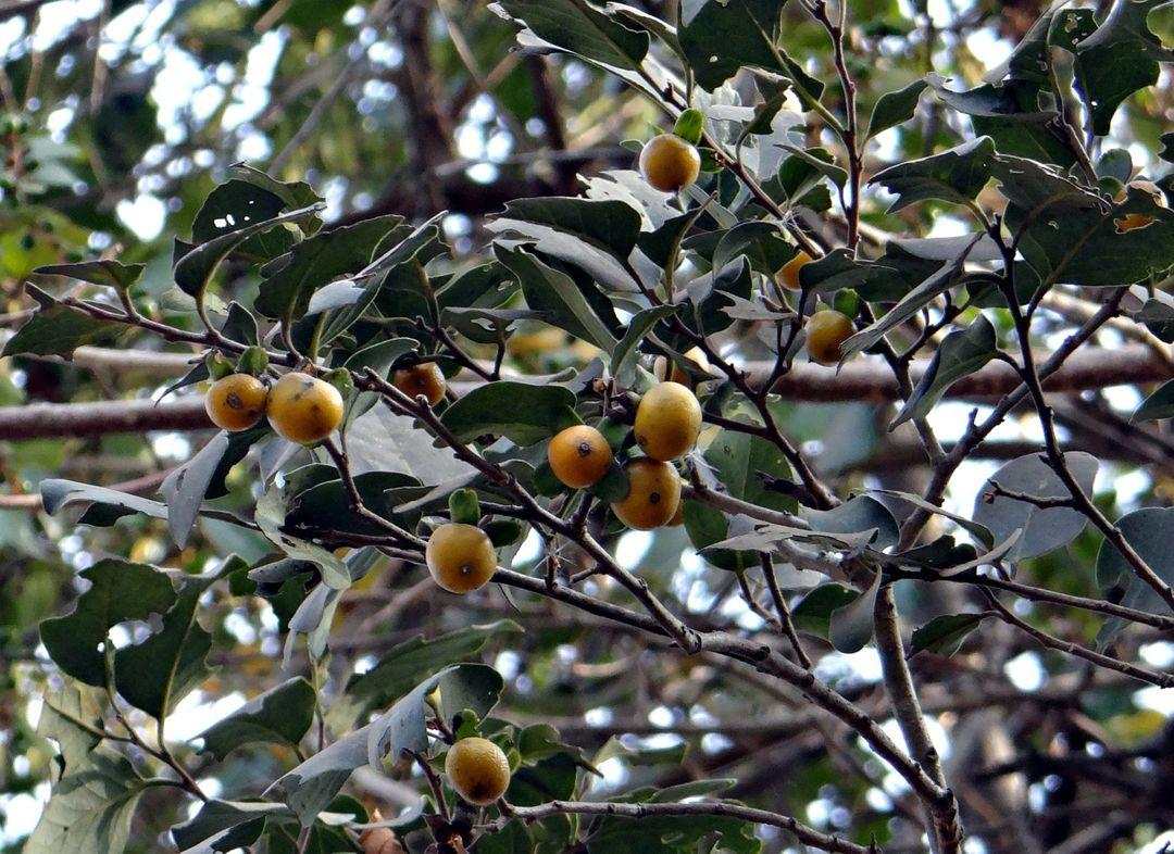 buah eboni
