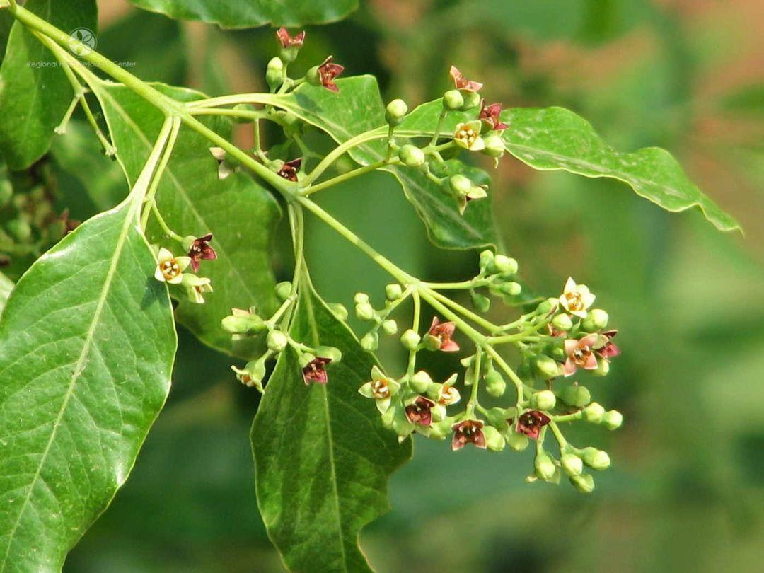 bunga dan buah cendana