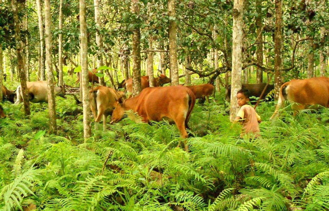 contoh agroforestri