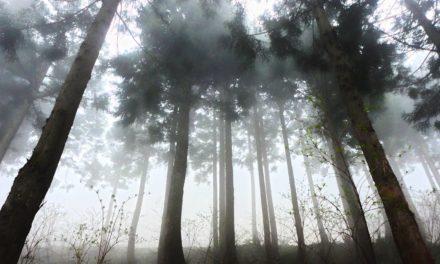 Pohon Cedar – Asal, Manfaat, dan Sisi Magis