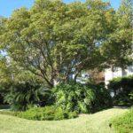 Pohon Kamper – Manfaat Kayu Hingga Kapur Barus