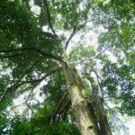 Pohon Rasamala - Kayu, Ciri, Manfaat, Sebaran & Budidaya