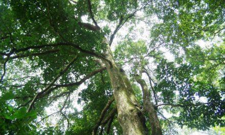 Pohon Rasamala – Ciri, Manfaat dan Berumur Panjang