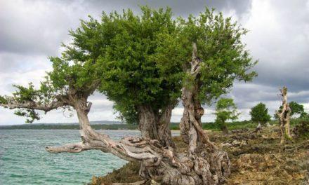 Pohon Stigi – Banyak Manfaat Meski Terancam Punah