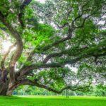 Pohon Trembesi - Ciri, Manfaat, Kualitas Kayu & Budidaya