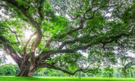 Pohon Trembesi – Ciri, Manfaat dan Cara Budidaya