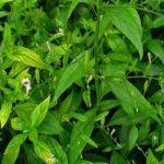 Sambiloto – Tanaman Herbal Pahit Kaya Manfaat
