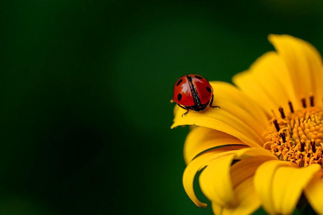 serangga kepik