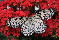 serangga kupu-kupu