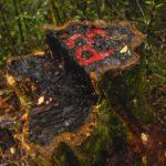 Pohon Sonokeling – Si Kayu Hitam Yang Terancam