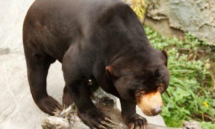 Beruang Madu – Beruang Terkecil di Dunia