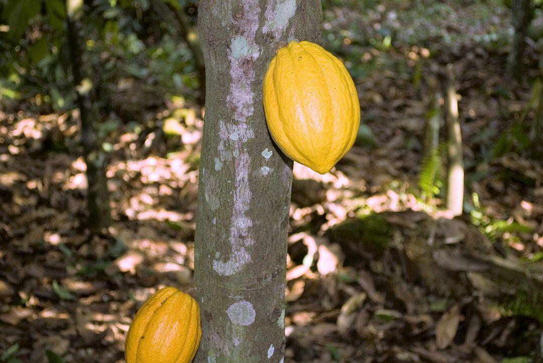 buah cokelat