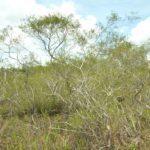 Hutan Kerangas - Pengertian, Jenis Tumbuhan & Potensi
