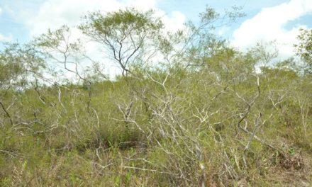 Hutan Kerangas – Pengertian, Jenis Tumbuhan & Potensi