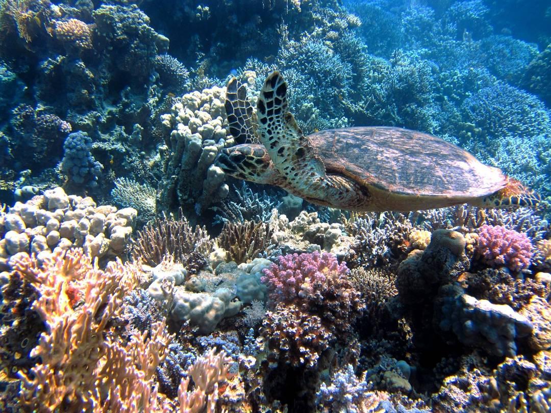 penyu terumbu karang