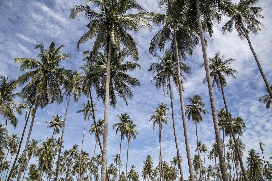 perkebunan kelapa