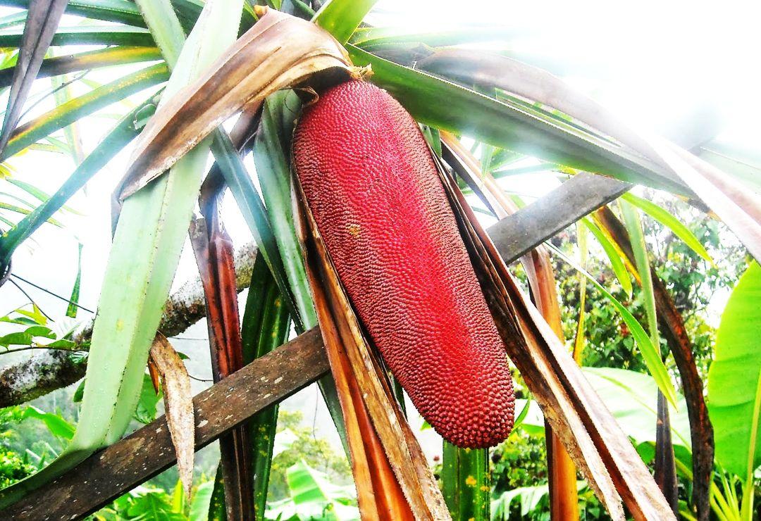tanaman buah merah