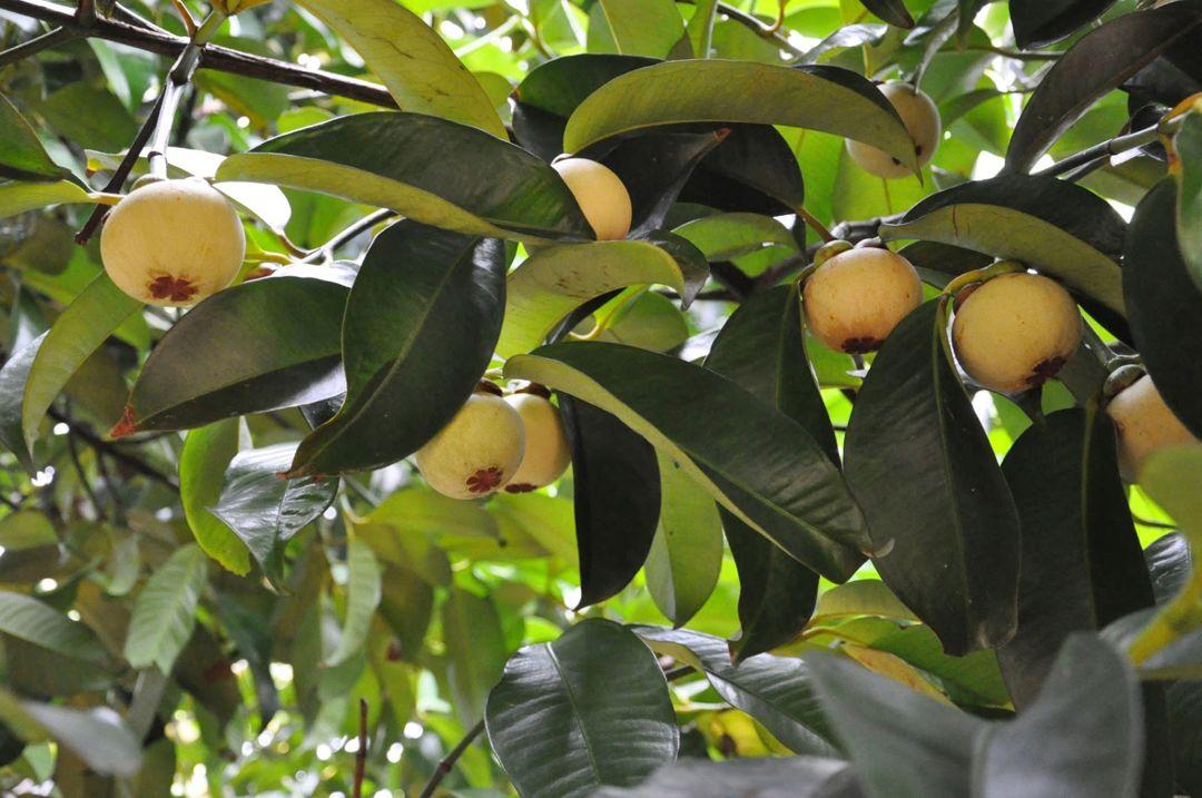 tanaman manggis