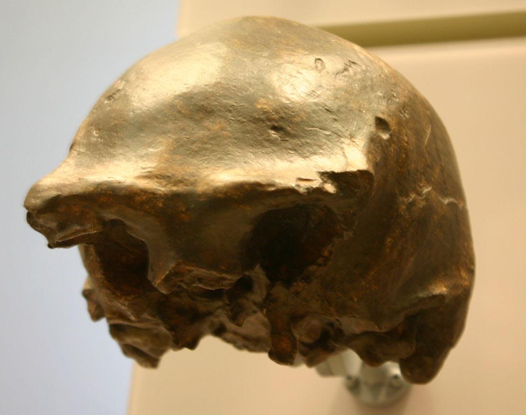 tengkorak homo soloensis