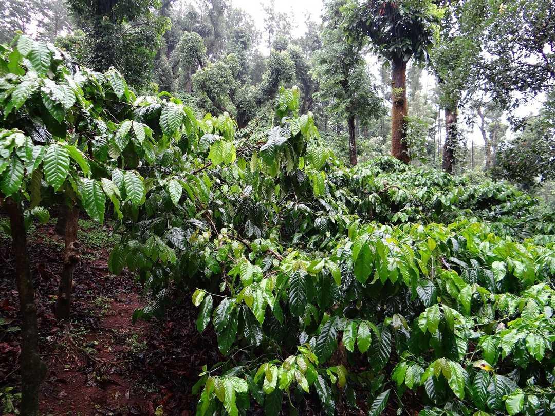 tumbuhan kopi