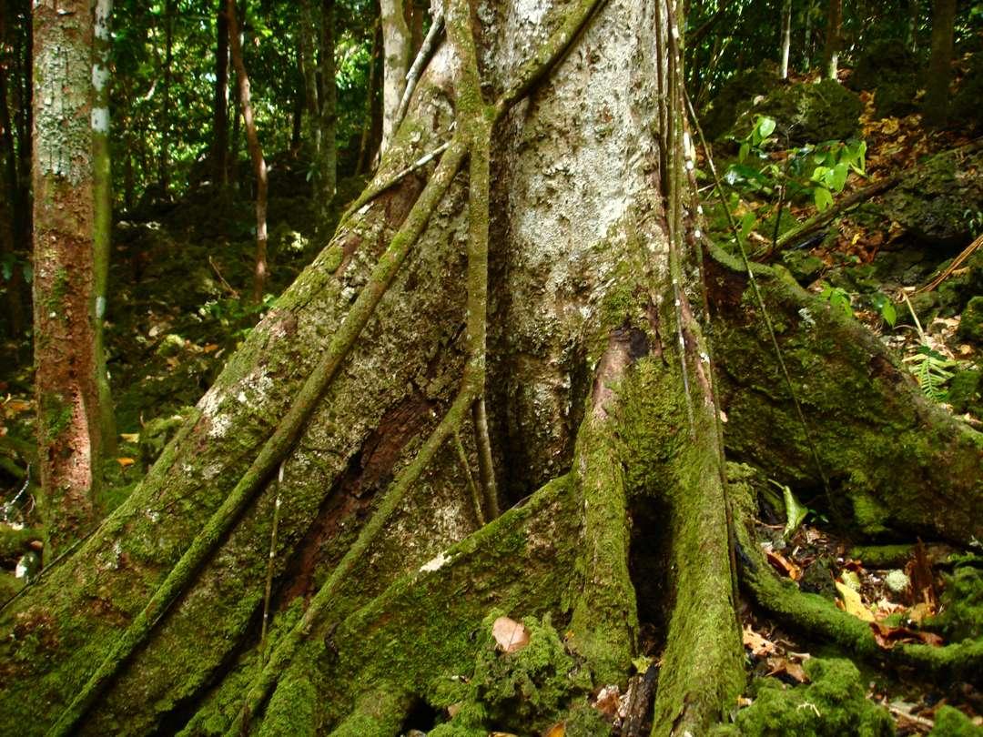 akar batang merbau