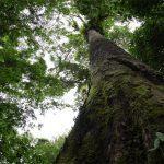 Pohon Merbau - Sebaran, Manfaat Kayu & Perdagangan