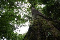 pohon merbau