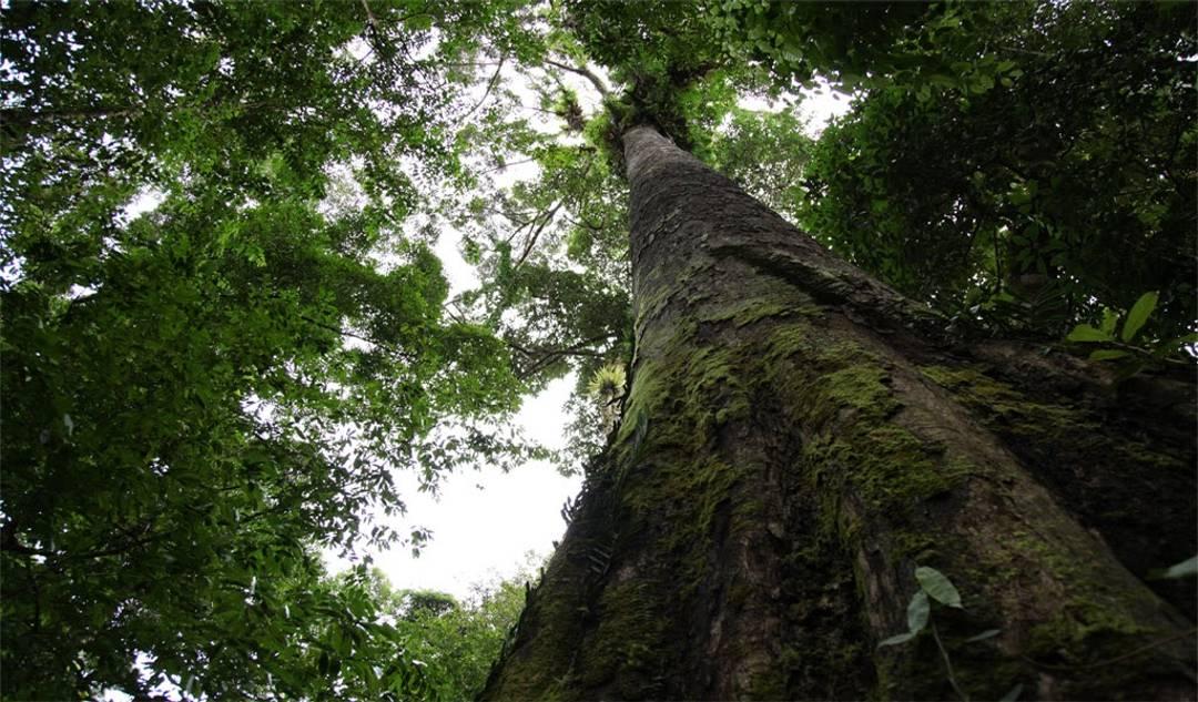 Pohon Merbau – Sebaran, Manfaat Kayu & Perdagangan