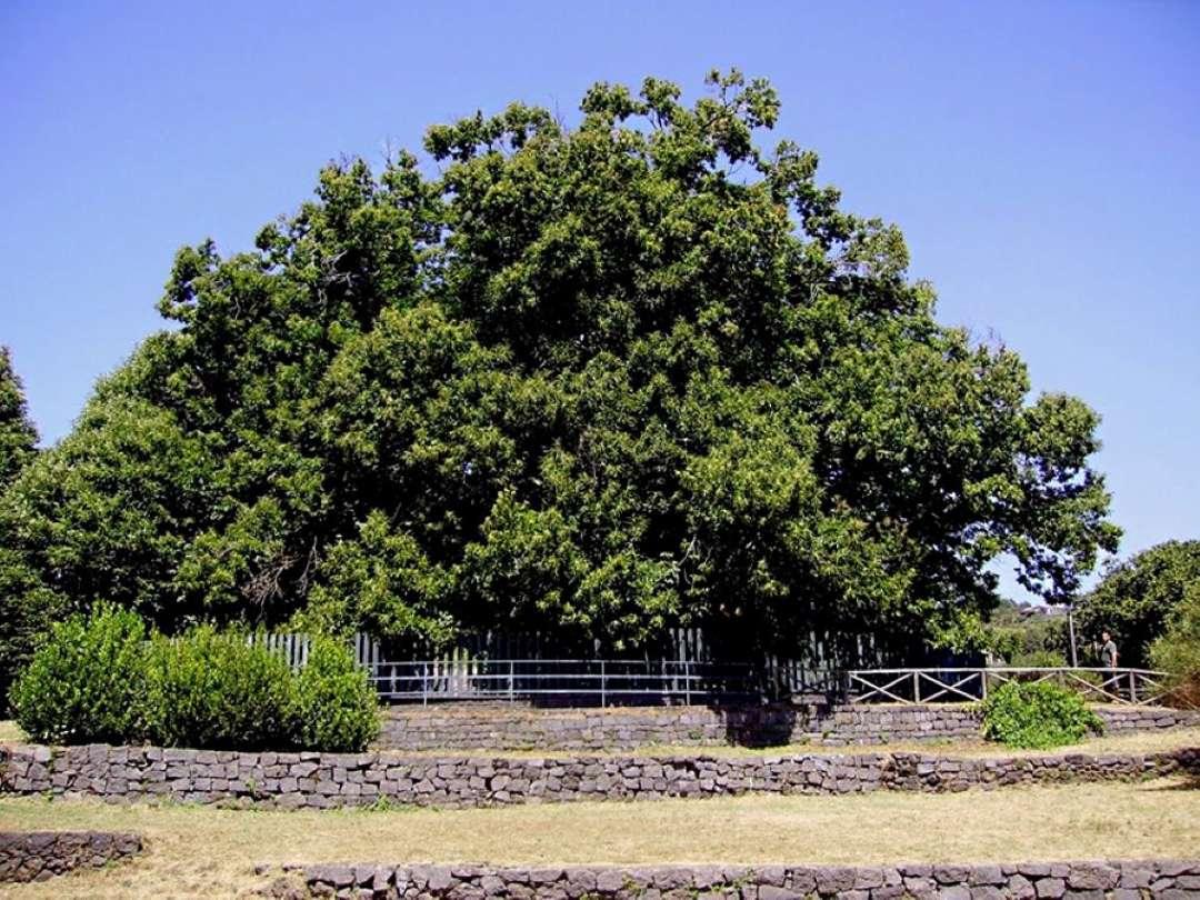 Hundred Horse Chestnut