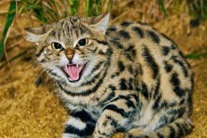 Kucing Blacan