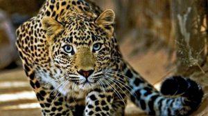 Macan Tutul Jawa