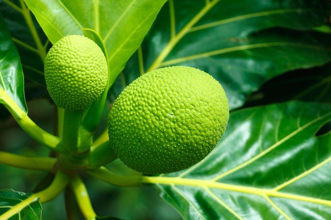 buah sukun muda