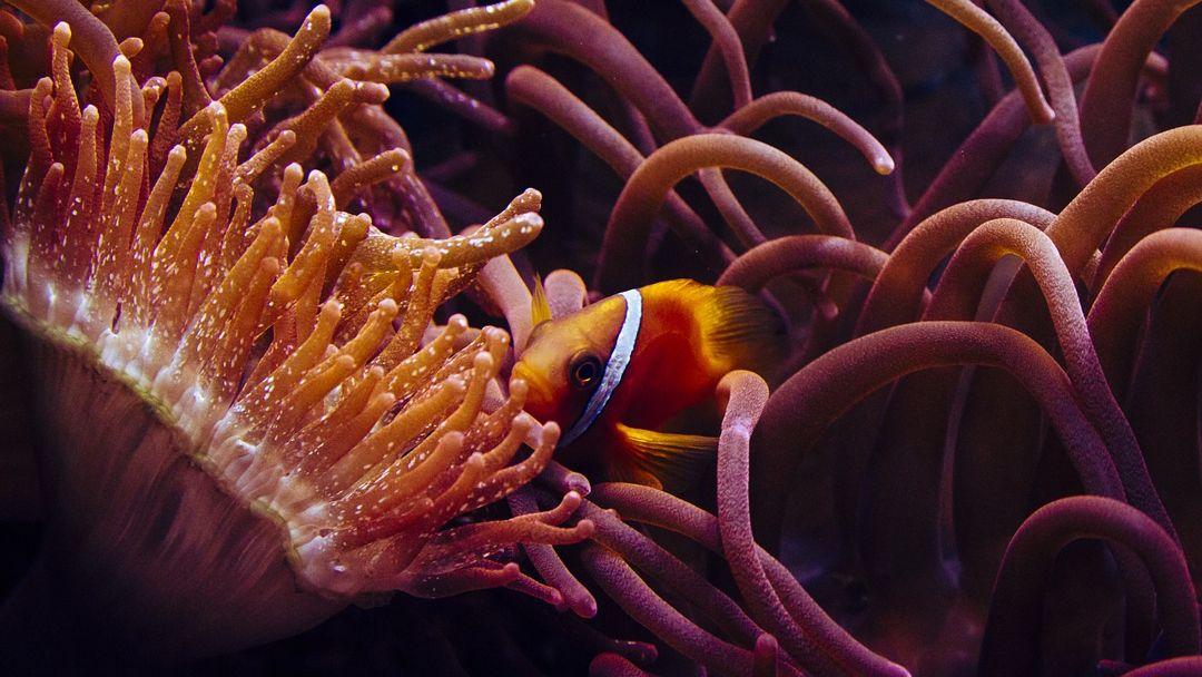 ikan badut dan anemon laut